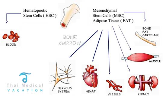 Msc mesenchymal enriched adipose fat stem cell therapy