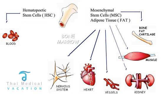 adult bone marrow stem cells