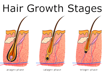 stages-of-hair-growth